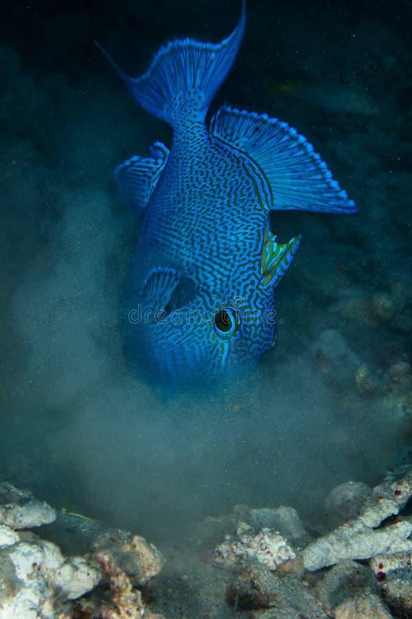 Blauer Triggerfish stockbilder