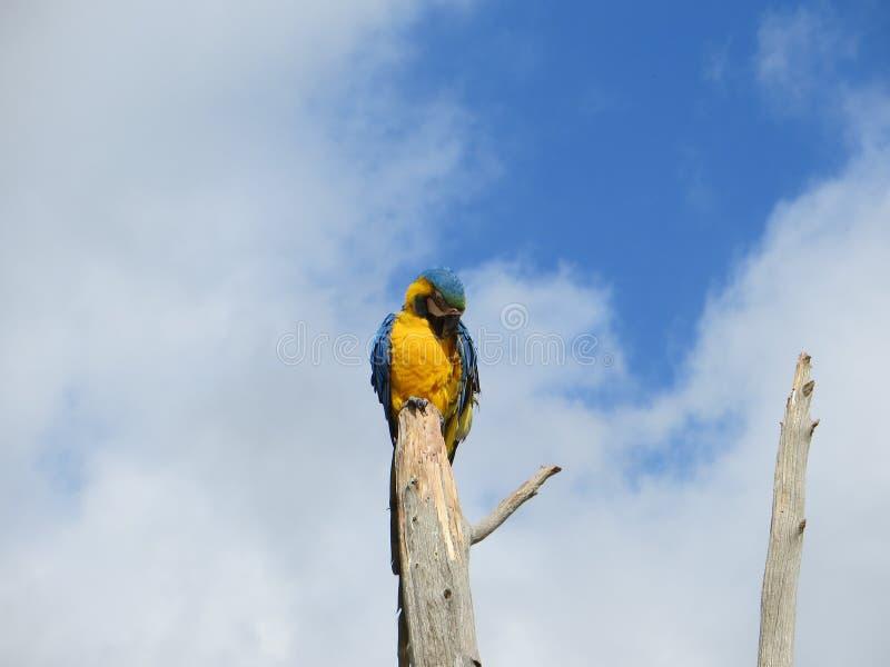 Blauer und gelber Keilschwanzsittich auf einem Baum lizenzfreie stockfotografie