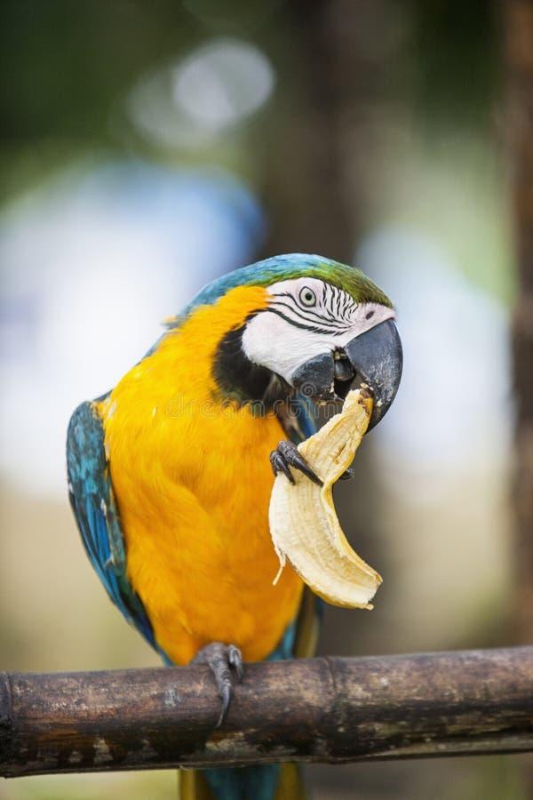 Blauer und gelber Keilschwanzsittich, der Banane, Boracay, Philippinen isst lizenzfreies stockfoto