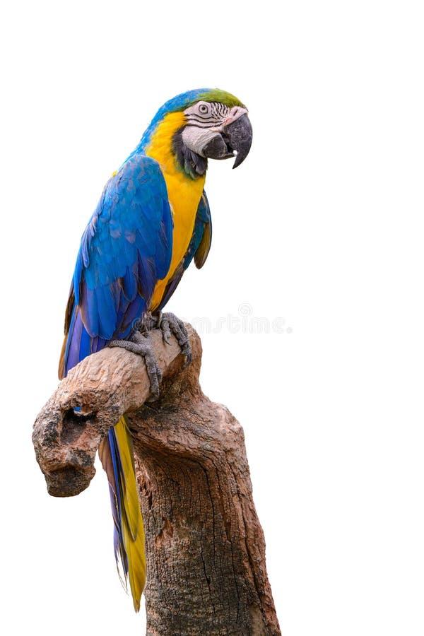 Blauer und gelber Macaw lizenzfreies stockfoto