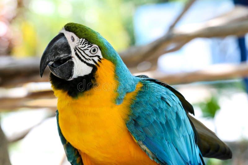 Blauer und gelber Macaw lizenzfreie stockfotos
