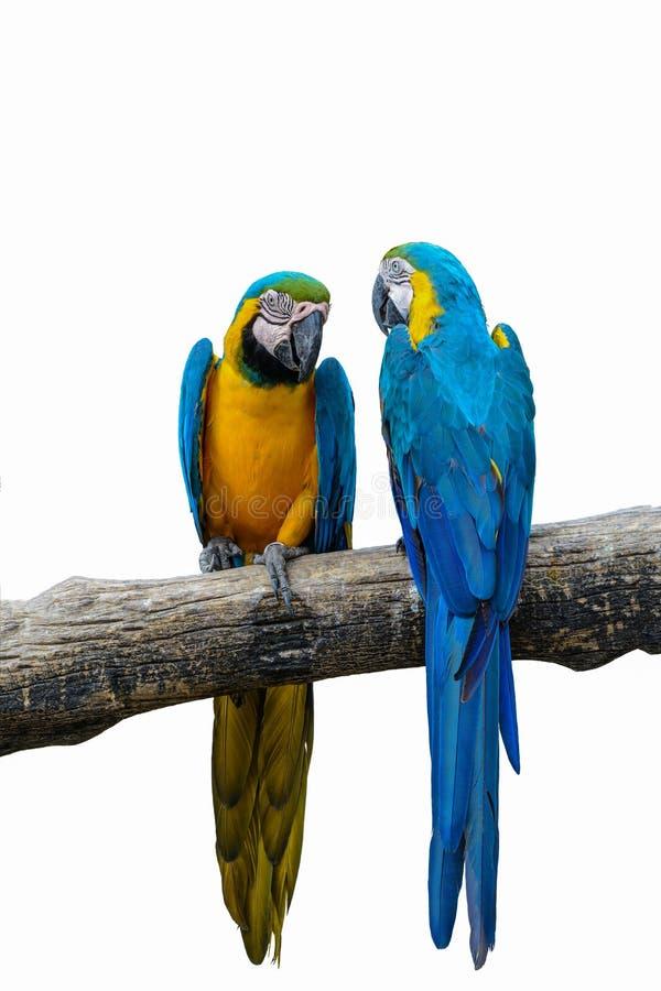Blauer und gelber Macaw stockbild