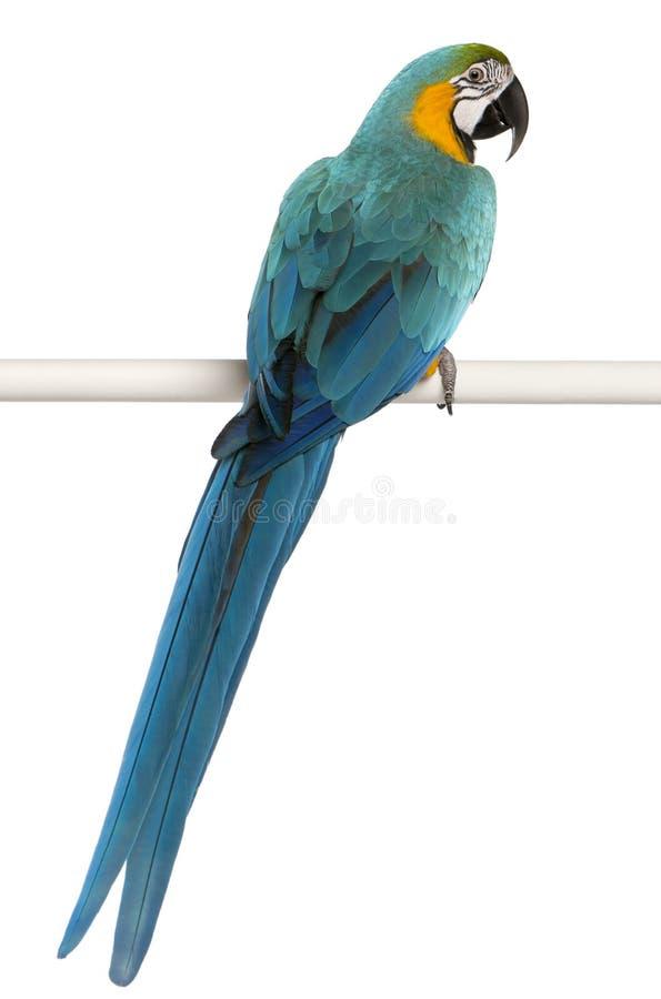 Blauer und gelber Macaw, Ara Ararauna stockbilder