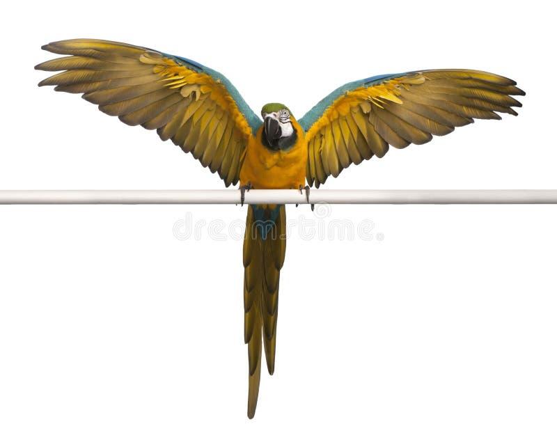 Blauer und gelber Macaw, Ara Ararauna lizenzfreie stockfotos