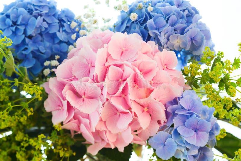 Blauer und rosafarbener Hydrangea lizenzfreie stockfotografie