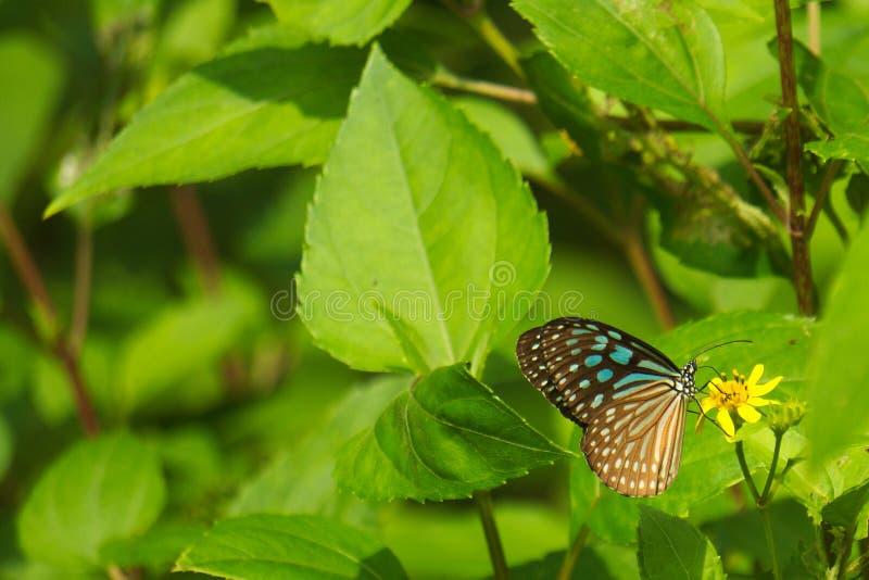 Blauer und schwarzer asiatischer Schmetterling auf einem Dschungelwald, gelbe wilde Blume lizenzfreie stockfotografie