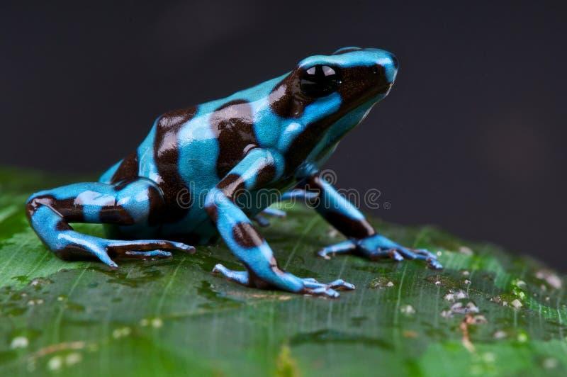 Blauer und schwarzer Giftpfeilfrosch stockfotografie