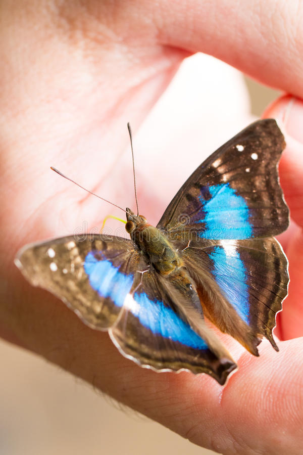 Blauer und schwarzer Schmetterling an Hand stockfotografie