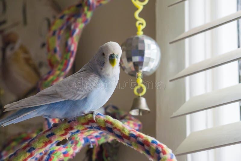 Blauer und weißer Budgie auf Seilbarsch stockfotografie