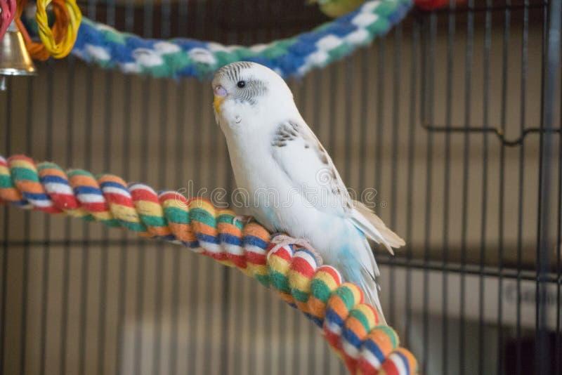 Blauer und weißer Budgie auf Seilbarsch lizenzfreie stockfotografie