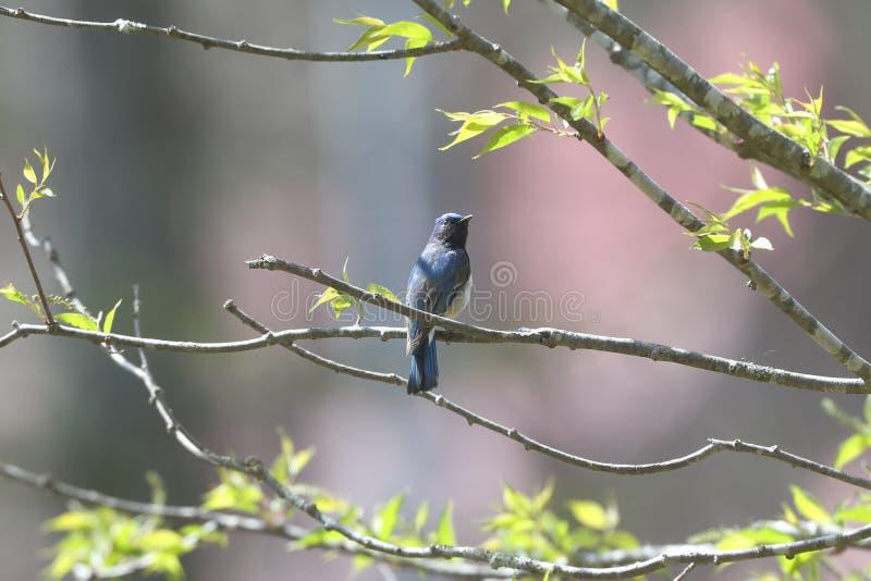 Blauer Vogel auf der Niederlassung des Baums lizenzfreies stockfoto