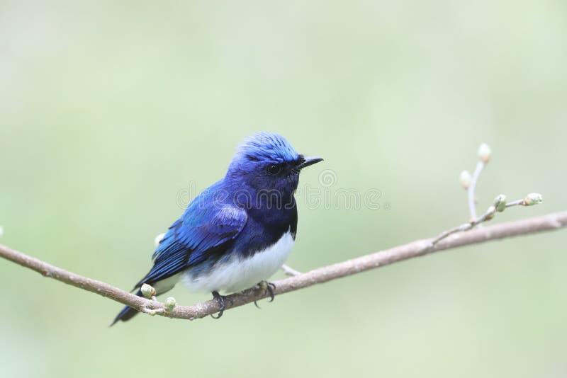 Blauer Vogel auf einer Niederlassung des Baums stockbild