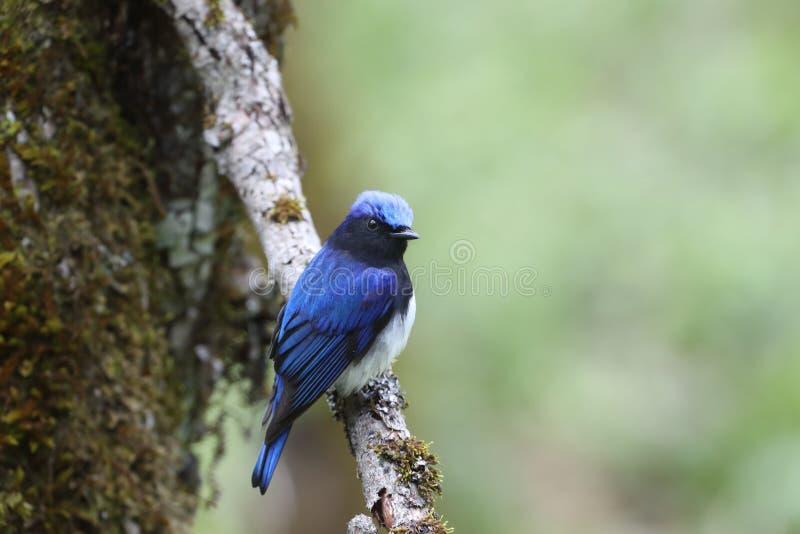 Blauer Vogel auf einer Niederlassung des Baums stockbilder
