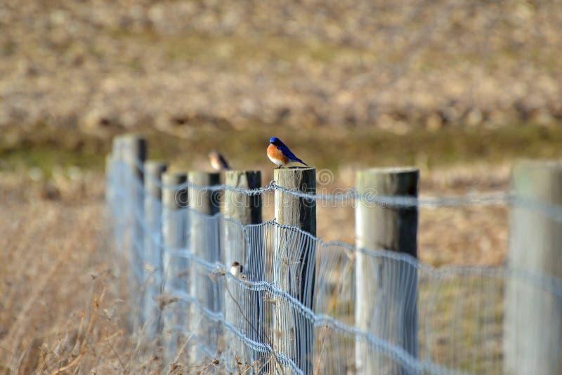 Blauer Vogel auf Zaun stockfotografie