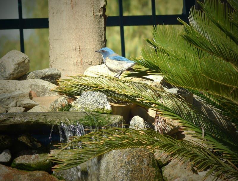 Blauer Vogel, der auf einem Brunnen singt stockfoto