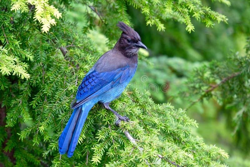 Blauer Vogel im Baum stockbilder