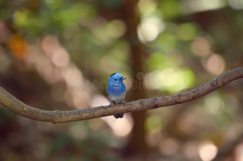 Blauer Vogel Schwarzer-naped Monarch stockfoto