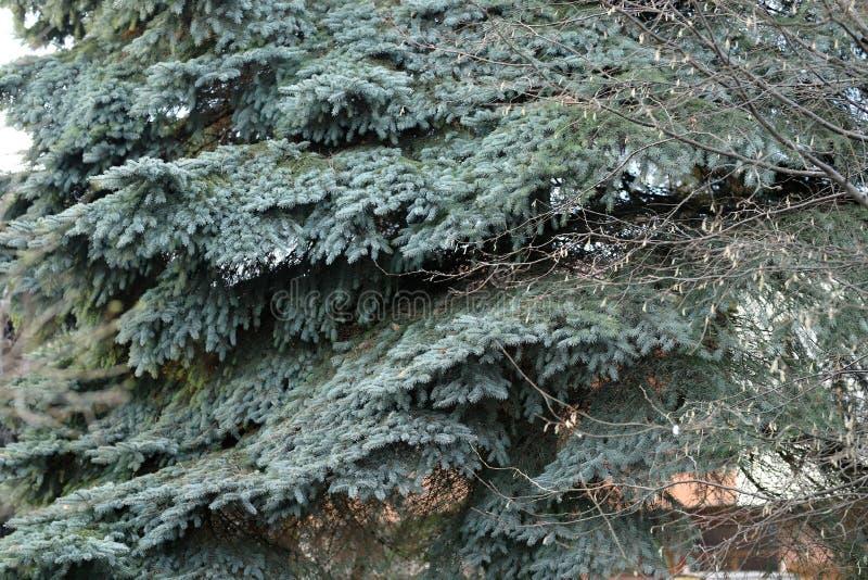 Blauer Weihnachtsbaum mit alten Niederlassungen stockfotos