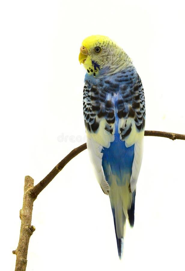 Blauer Wellensittichvogel stockbild