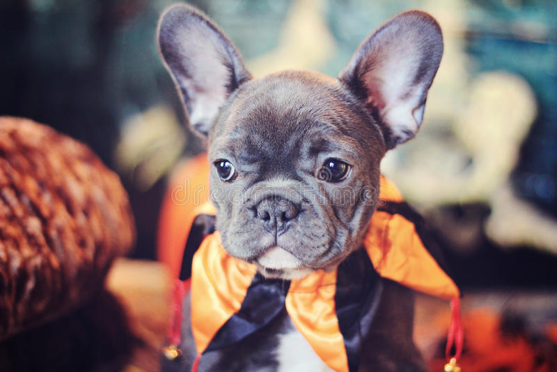 Blauer Welpe Halloween der französischen Bulldogge lizenzfreie stockfotografie