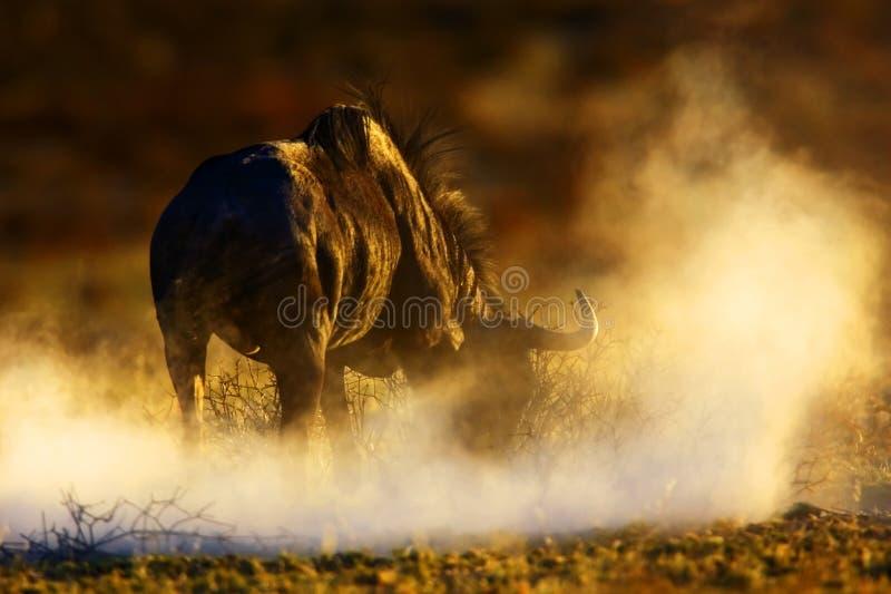 Blauer Wildebeest stockfotos