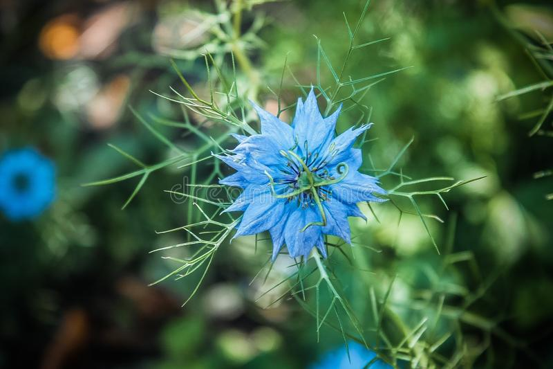 Blauer Wildflower stockfotos