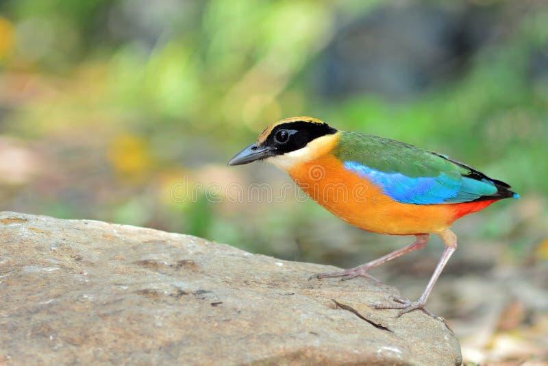 Blauer winged Pitta Vogel stockbilder