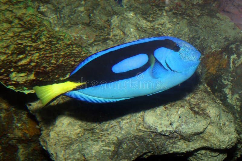 Blauer Zapfen lizenzfreies stockfoto