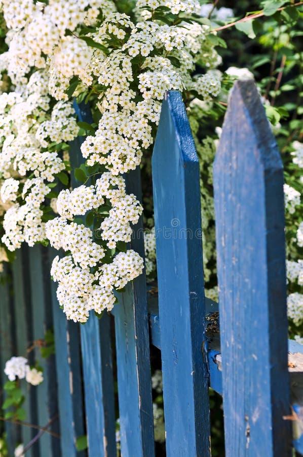 Blauer Zaun mit weißen Blumen lizenzfreie stockfotos