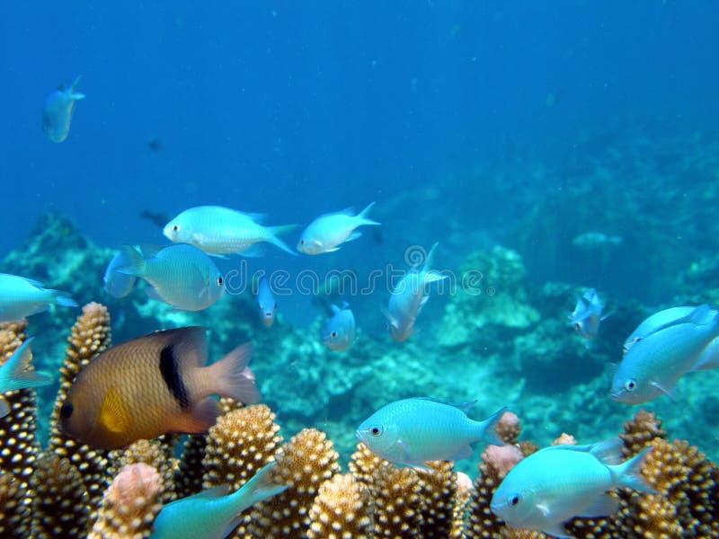 Blaues Anthias in korallenrotem Fidschi stockfoto