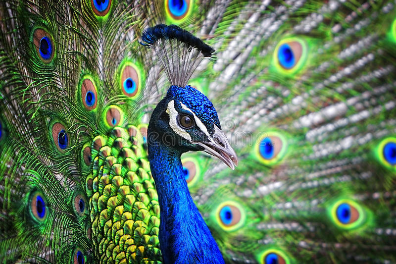 Blaues Band-Pfau-Porträt lizenzfreie stockfotos