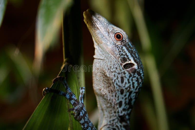 Blaues Baum-Überwachungsgerät - Varanus prasinus stockfotografie
