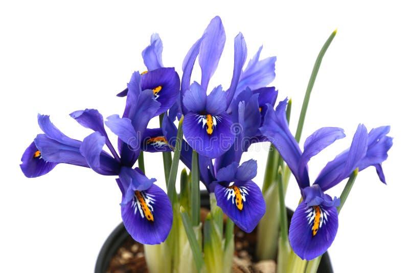 Blaues Blumenfeld der gelben Iris lokalisiert auf weißem Hintergrund lizenzfreie stockbilder