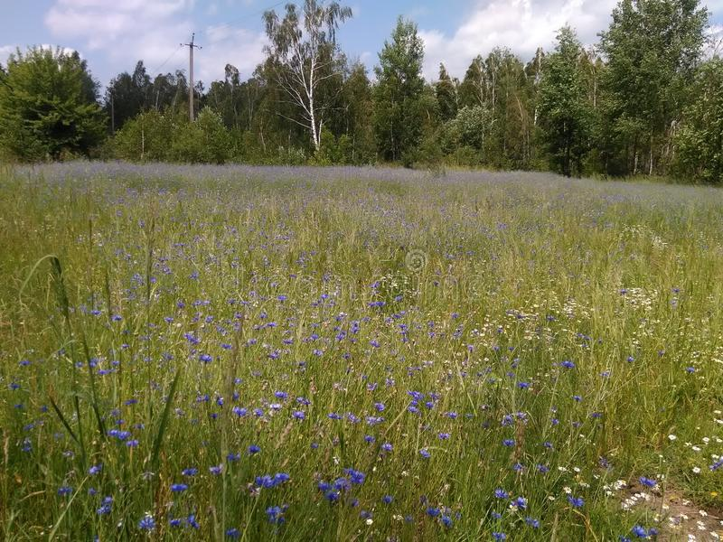 Blaues Blumenfeld Ukraine und Waldlandschaft lizenzfreie stockbilder