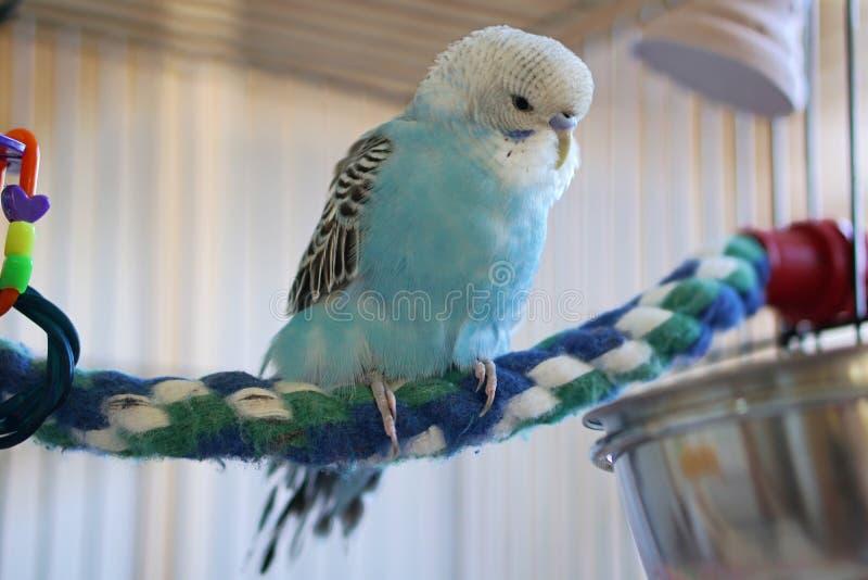 Blaues budgie auf bunter Seilstange lizenzfreie stockfotografie