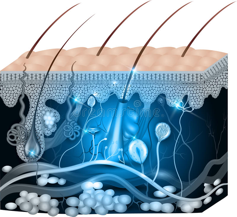 Blaues Design der Hautanatomie-Zusammenfassung stock abbildung