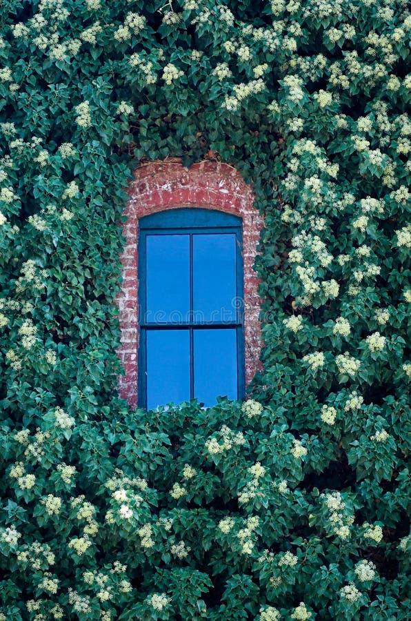 Blaues Fenster im Efeu lizenzfreie stockfotos