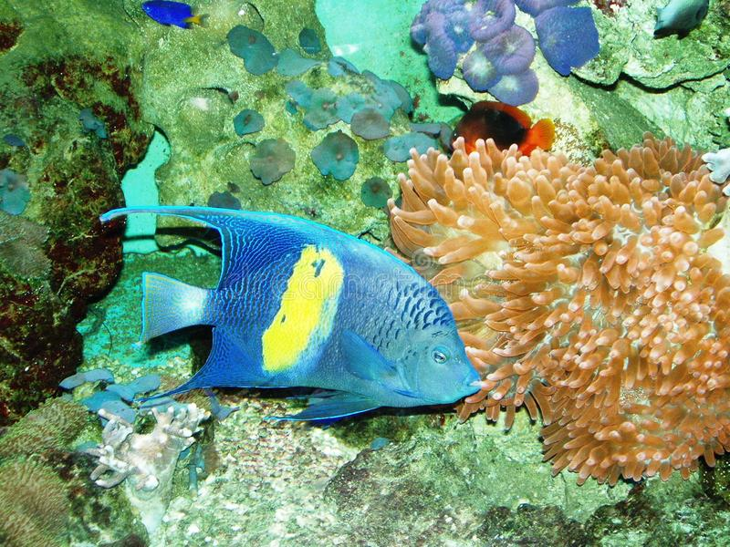 Blaues fishe lizenzfreie stockfotos