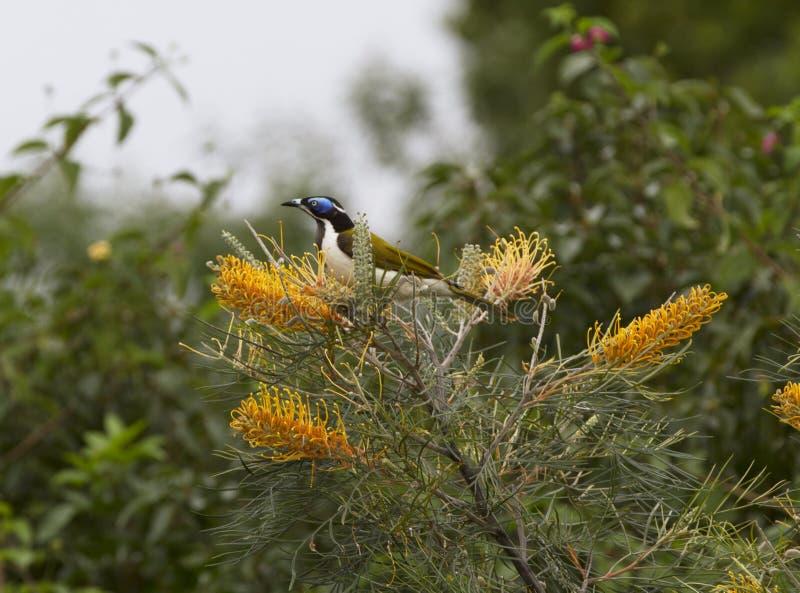 Blaues gegenübergestelltes honeyeater, das auf blühenden grevillias genießt lizenzfreie stockbilder
