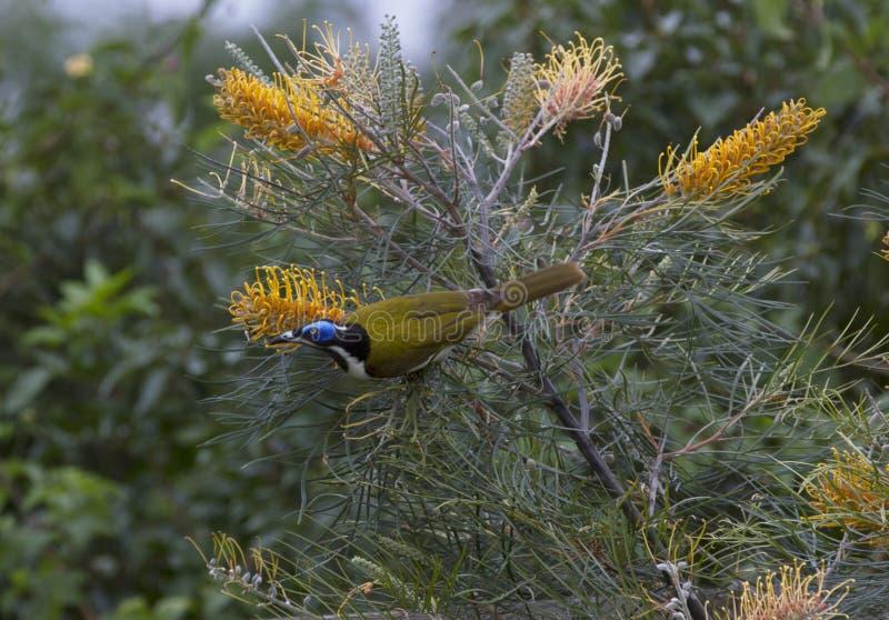 Blaues gegenübergestelltes honeyeater, das auf blühenden grevillias genießt stockbild