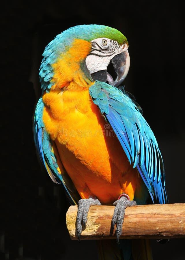 Blaues Gelb des Papageien lizenzfreie stockbilder
