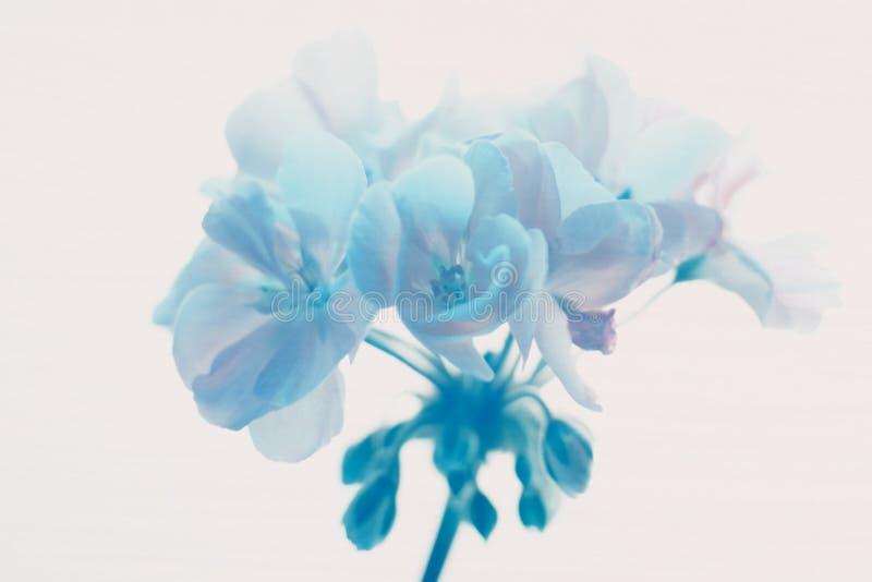 Download Blaues Geraniium stockbild. Bild von pelargonie, nave, blume - 44113