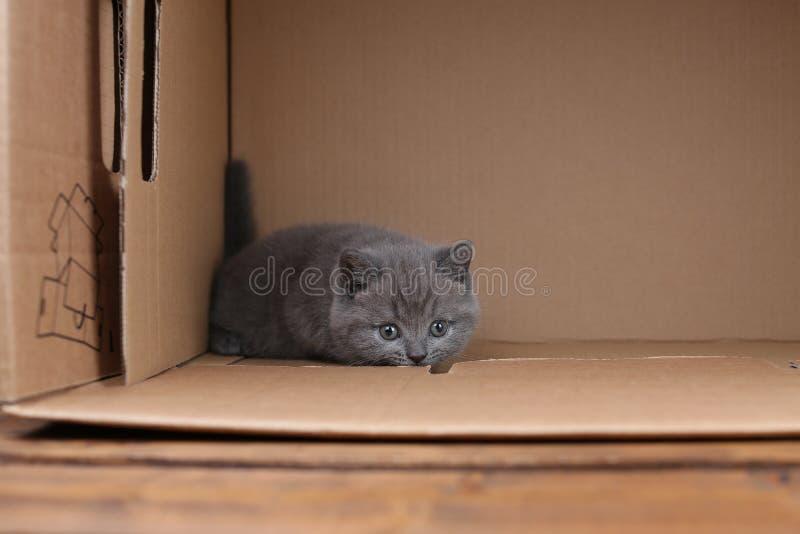 Blaues Kätzchen des Britisch Kurzhaars, das in einem Kasten, lokalisiertes Porträt sitzt lizenzfreies stockfoto