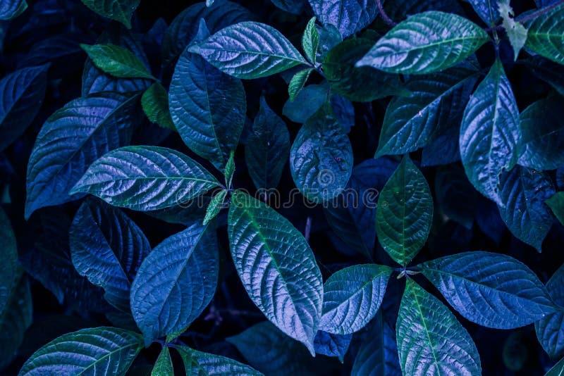 Blaues Laub wird als Hintergrund benutzt lizenzfreie stockfotografie