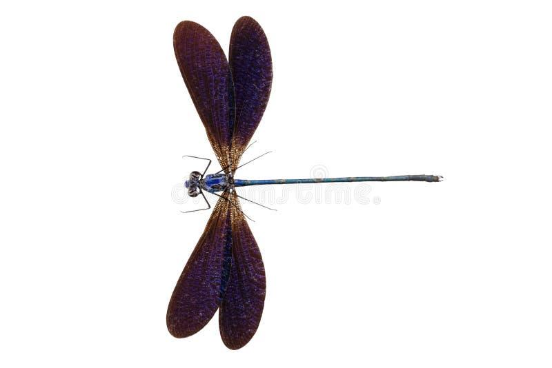 Download Blaues Libellesorte Vestalis Luctuosa Stockbild - Bild von dünn, hintergrund: 27725449