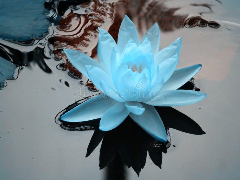 Blaues Lotus lizenzfreie stockfotografie