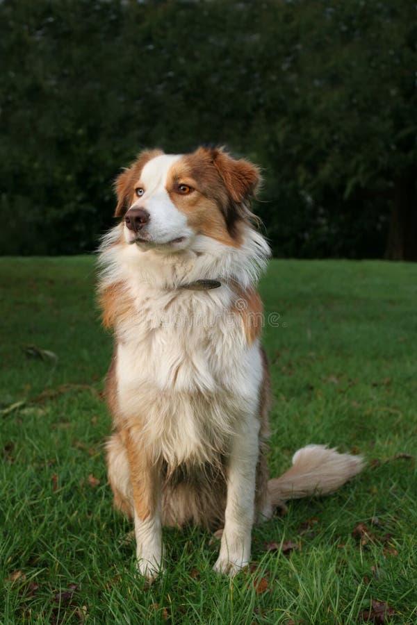 Blaues Merle Collie-Schäferhund stockfoto