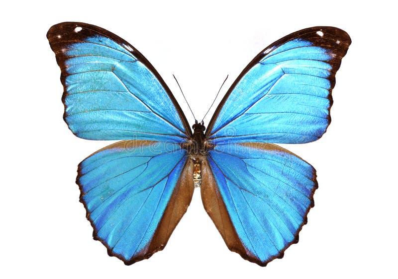 Blaues morpho stockfotografie