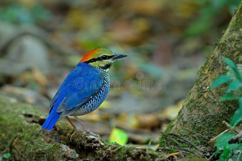 Download Blaues Pitta (Mann) stockbild. Bild von bunt, dschungel - 26362439