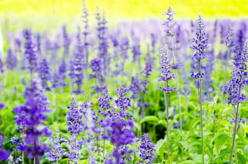 Blaues salvia, Salvia-Blume im Garten lizenzfreies stockbild